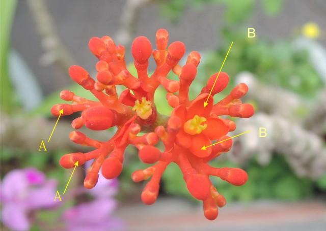 珊瑚油桐花被片