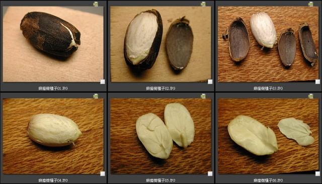 103痲瘋樹種子胚乳