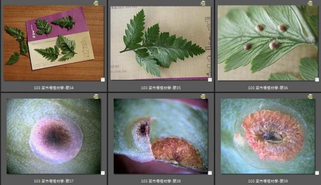 103 菜市場植物學-蕨(陶板屋)