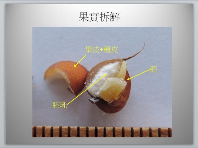 薏苡果實解剖圖02