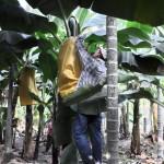 香蕉(採收)