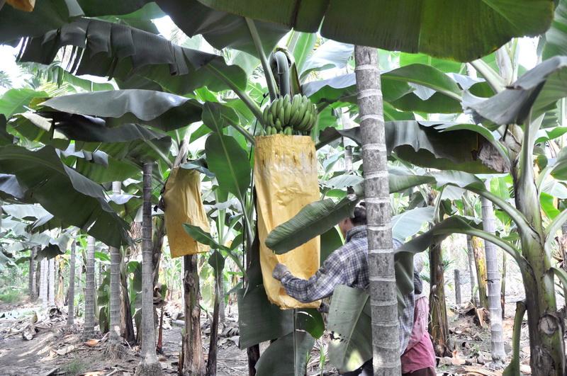 香蕉採收B