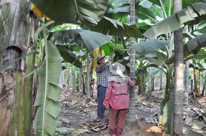 香蕉採收G