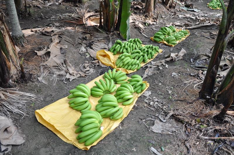 香蕉採收K