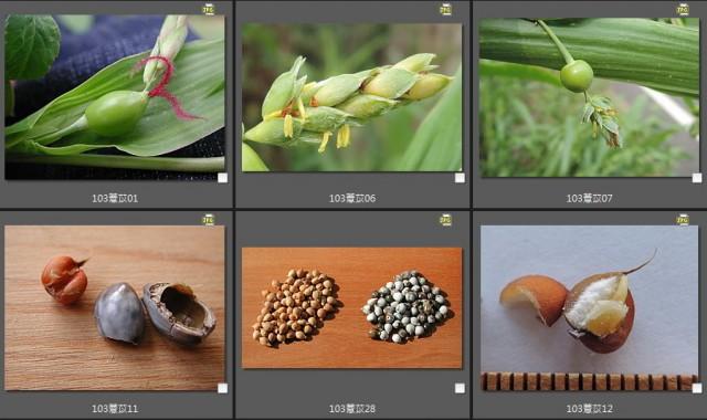 103菜市場植物學-單子葉植物A01