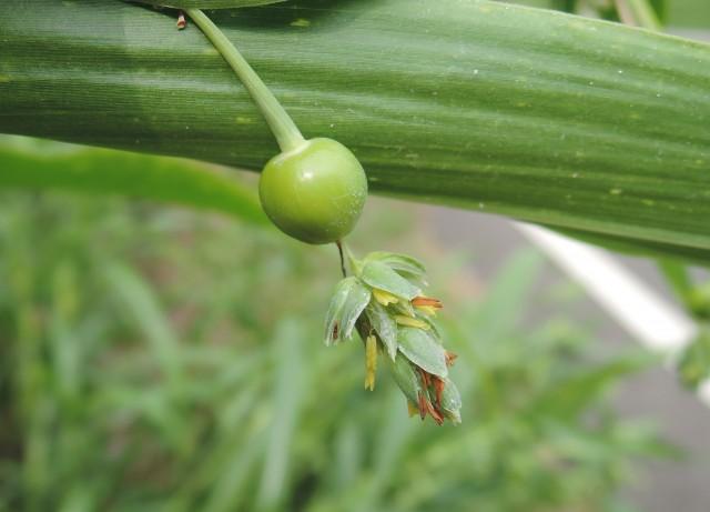 103菜市場植物學-單子葉植物A04
