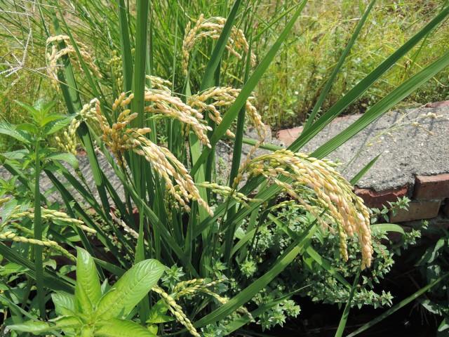 103菜市場植物學-單子葉植物B07