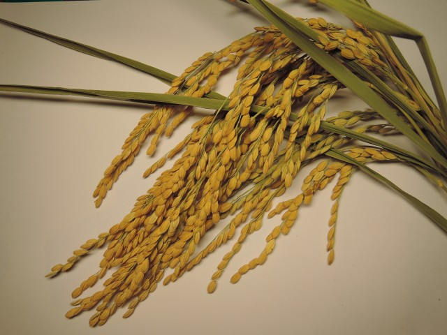 103菜市場植物學-單子葉植物B08a