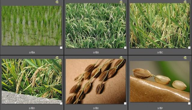103菜市場植物學-單子葉植物B15a