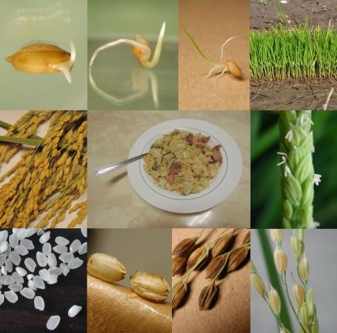 103菜市場植物學-單子葉(炒飯)