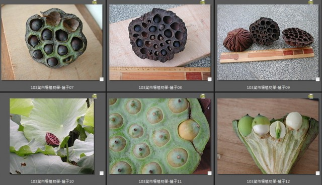 103菜市場植物學-種子植物N