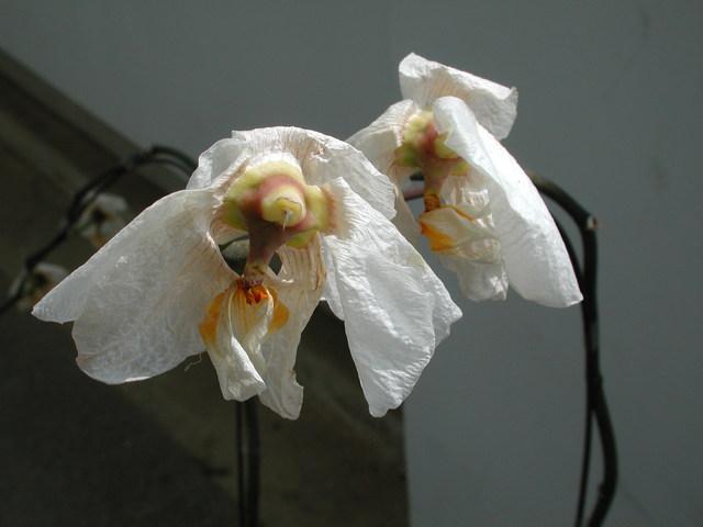 2008蝴蝶蘭2W01