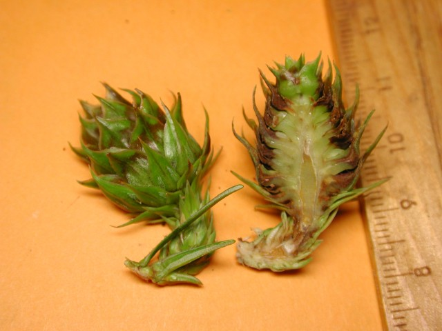 杉木屬毬果06