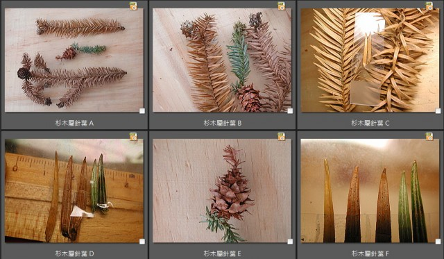 杉木屬針葉G
