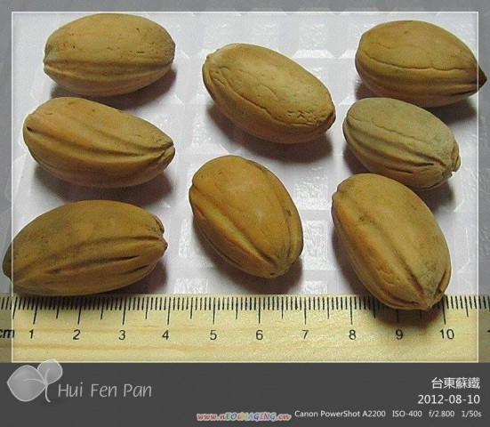 103台東蘇鐵種子
