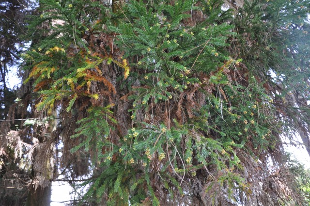 103柳杉-小孢子囊穗02