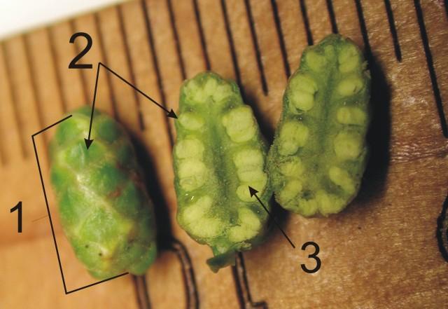 103柳杉-小孢子囊穗06b