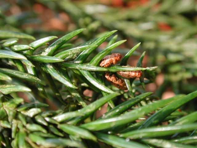 103柳杉-小孢子囊穗09