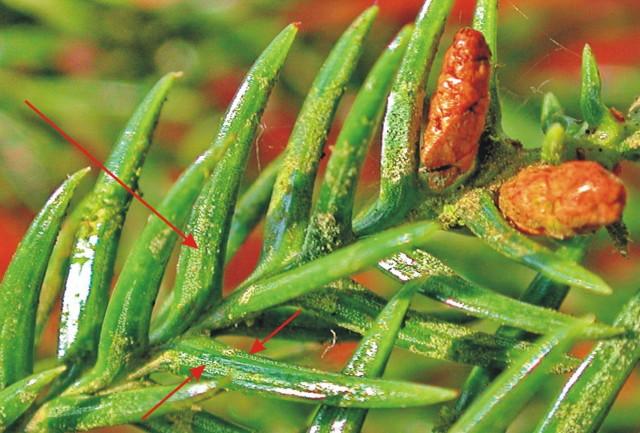 103柳杉-小孢子囊穗09c