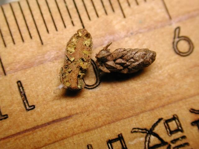 103柳杉-小孢子囊穗12