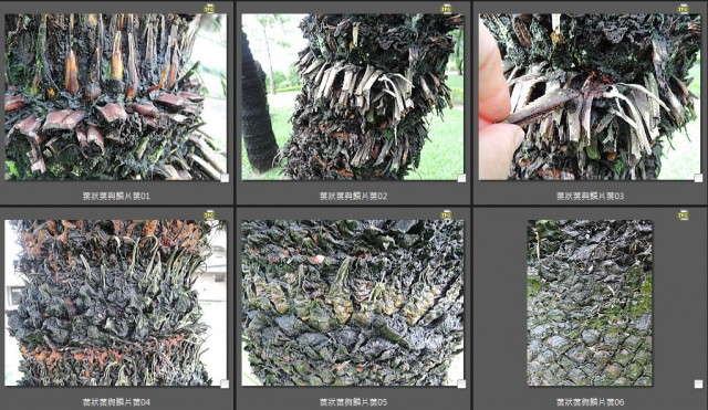 103葉狀葉與鱗片狀葉