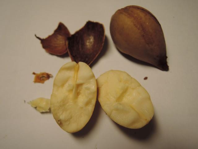 103蘇鐵種子10
