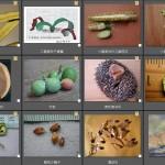 裸子植物分類