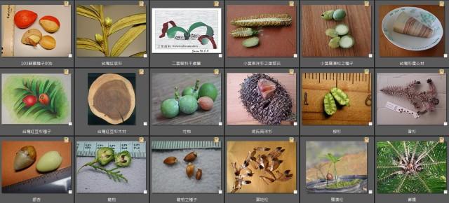 103裸子植物縮圖表