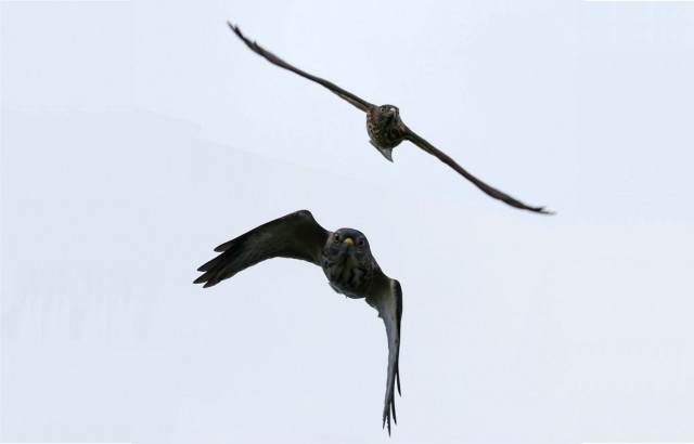 103赤腹鷹幼鳥展翅與縮翅02