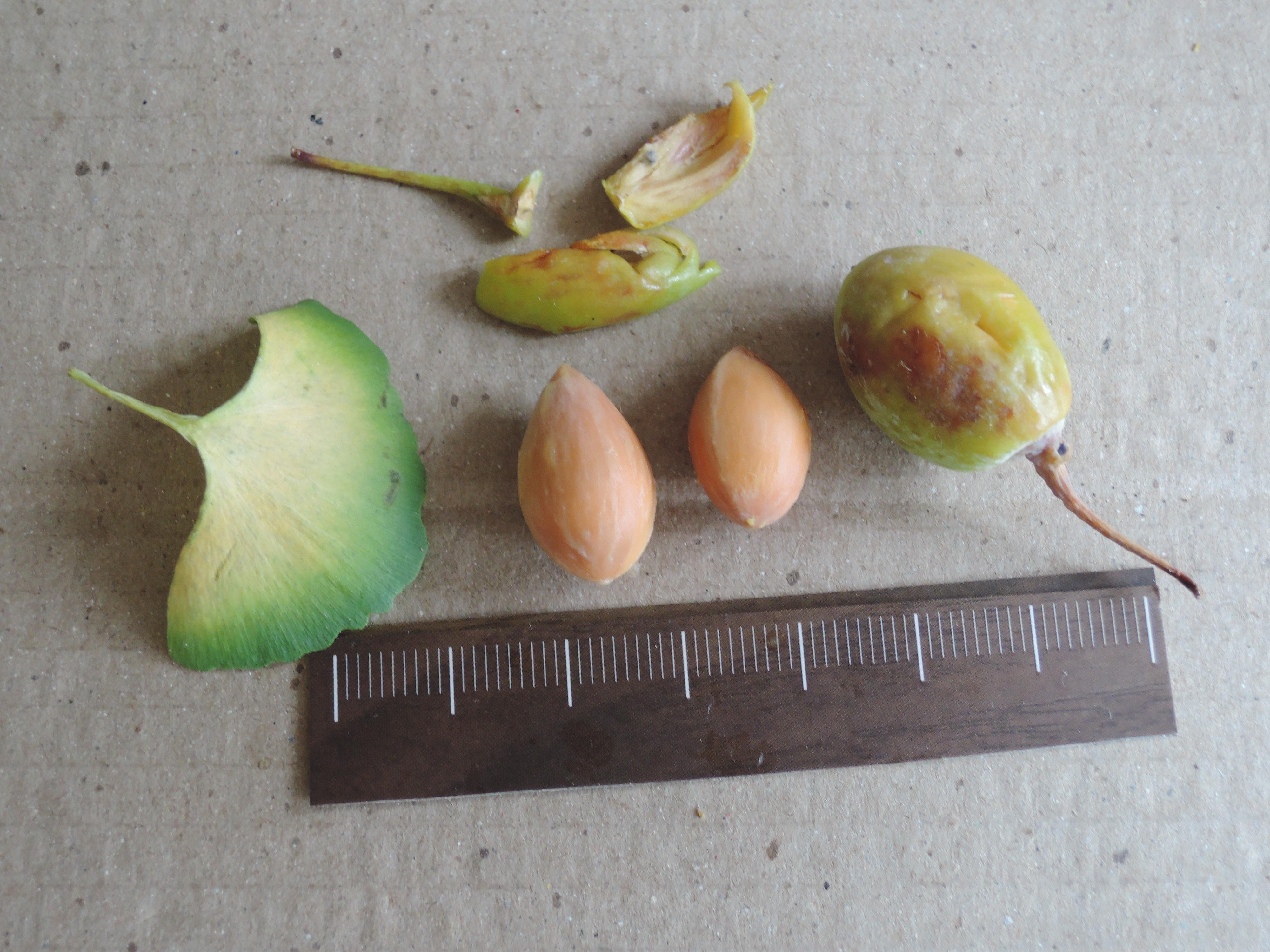 103銀杏種子14