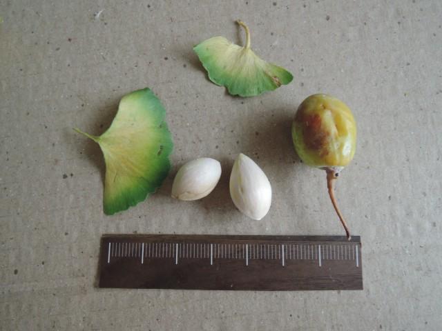 103銀杏種子15