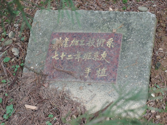 103龍柏03