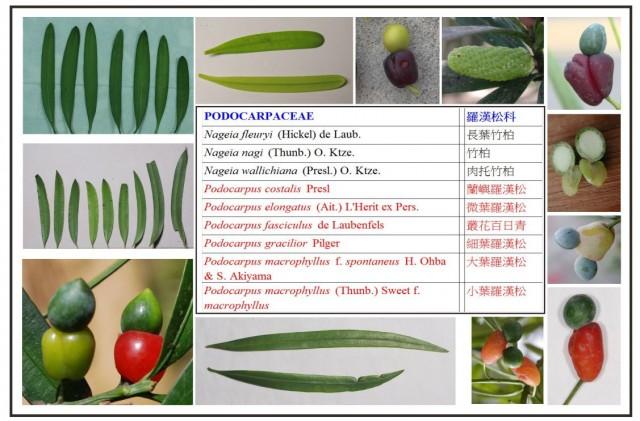 羅漢松屬植物名錄a