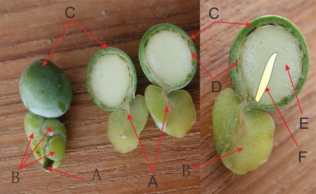 羅漢松屬種子構造圖