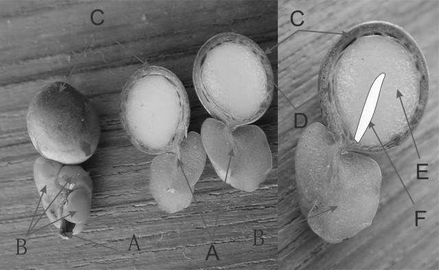 羅漢松屬種子構造圖bw