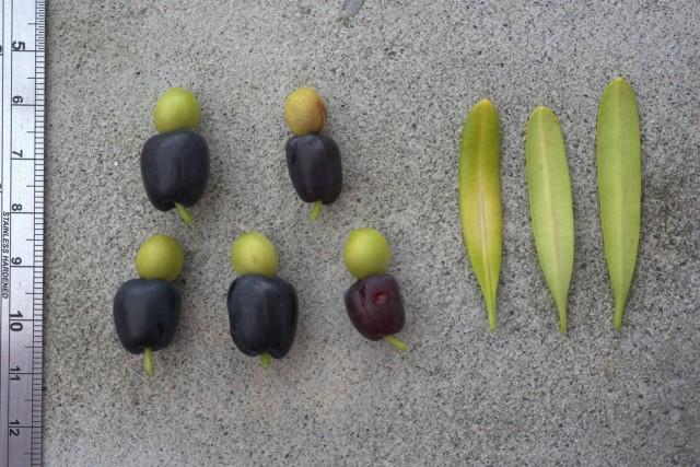 羅漢松屬A11-Polocarpus-costalis