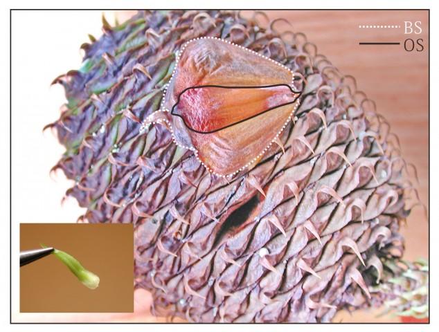 103南洋杉屬-苞鱗與珠鱗01a