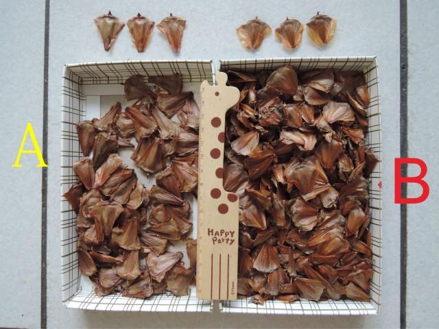 103南洋杉屬-苞鱗與珠鱗02