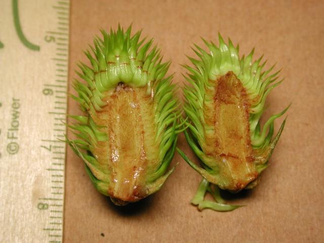 103南洋杉屬-苞鱗與珠鱗08