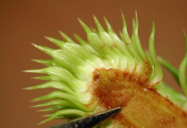 103南洋杉屬-苞鱗與珠鱗09