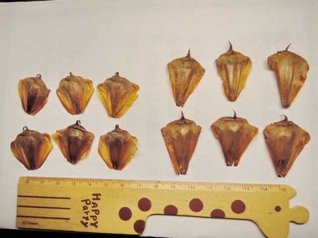 103南洋杉屬-苞鱗與珠鱗13