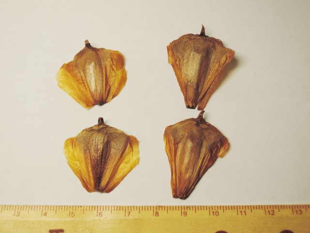 103南洋杉屬-苞鱗與珠鱗14