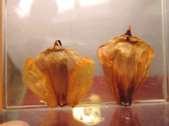 103南洋杉屬-苞鱗與珠鱗15