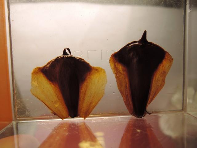103南洋杉屬-苞鱗與珠鱗16