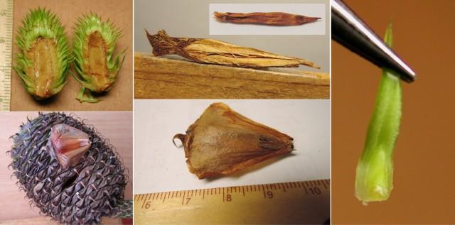 103南洋杉屬-苞鱗與珠鱗22