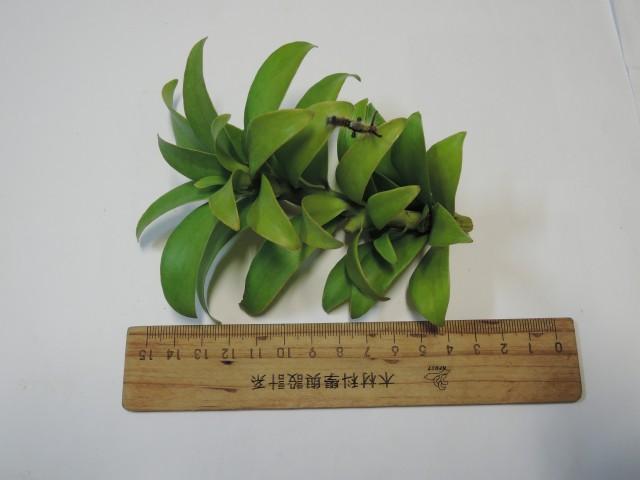103貝殼杉12