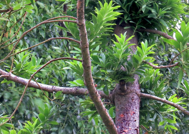 103貝殼杉15