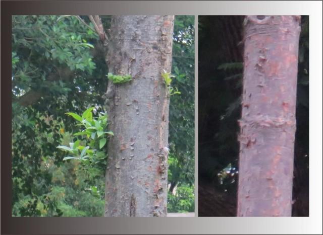 103貝殼杉15a