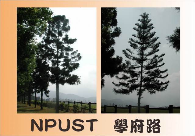 10NPUST之南洋杉01