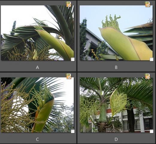 酒瓶椰子之花序